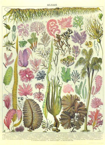 Affiche vintage  PLANTE ALGUES Dimensions : 70 x 50 cm