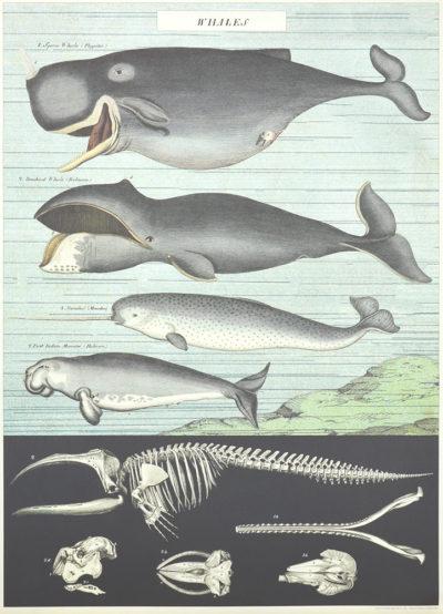 Affiche vintage  MER BALEINES Dimensions : 70 x 50 cm