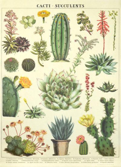 Affiche vintage  PLANTE CACTUS Dimensions : 70 x 50 cm