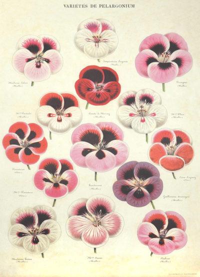 Affiche vintage  FLEURS PELARGONIUM Dimensions : 70 x 50 cm