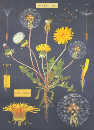 Affiche vintage  FLEURS PISSENLITS Dimensions : 70 x 50 cm