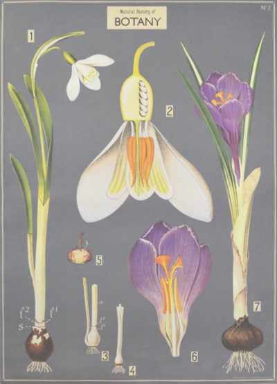 Affiche vintage  PLANTE CROCUS Dimensions : 70 x 50 cm