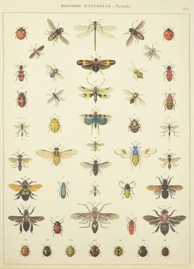 Affiche vintage  LIBELLULE INSECTES PLANCHE 1 Dimensions : 70 x 50 cm