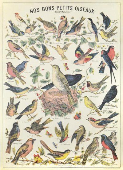 Affiche vintage  NATURE OISEAUX Dimensions : 70 x 50 cm