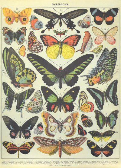 Affiche vintage  NATURE PAPILLONS PLANCHE 3 Dimensions : 70 x 50 cm