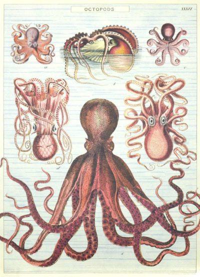 Affiche vintage  MER PIEUVRES Dimensions : 70 x 50 cm