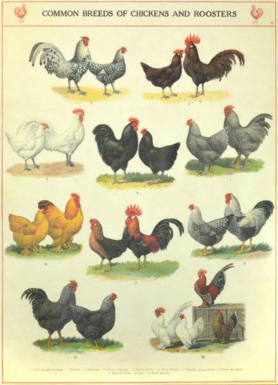 Affiche vintage  POULE POULES ET COQS Dimensions : 70 x 50 cm
